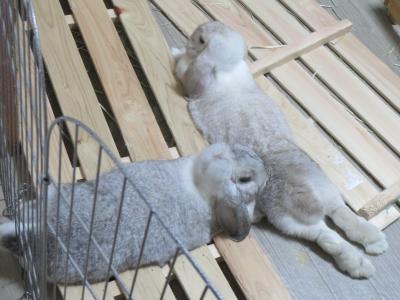 息子のお腹で手を暖めるママウサギ
