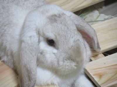 簀の子にハマるのが好きなウサギ