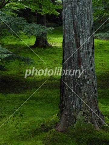 3752991 杉の木と苔