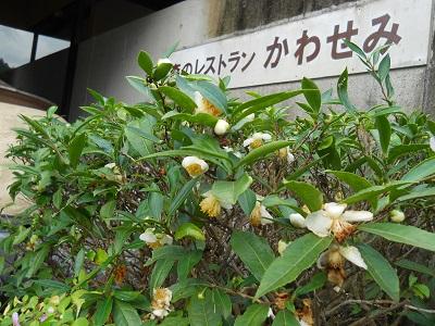 お茶の花 (3) - コピー
