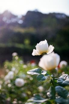 october_rose1.jpg