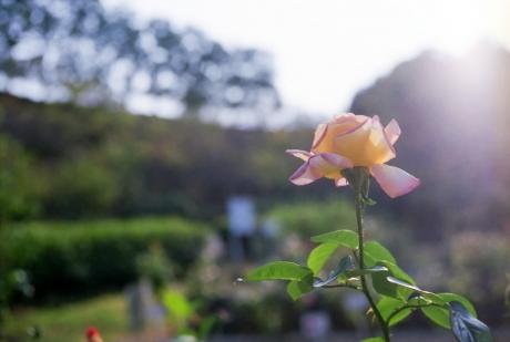 october_rose2.jpg