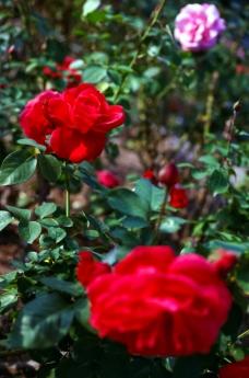 october_rose4.jpg