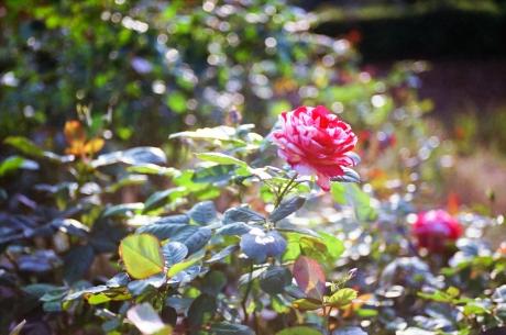 october_rose5.jpg