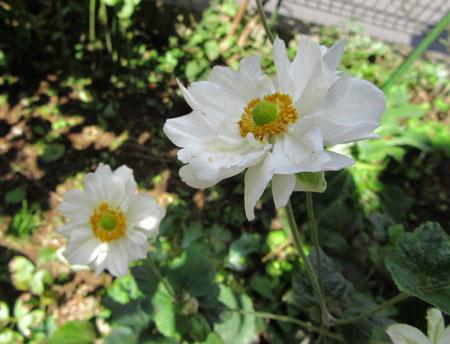 白花八重秋明菊