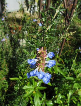 ボックセージの花