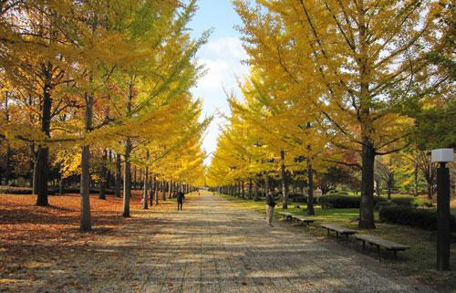 黄色の並木