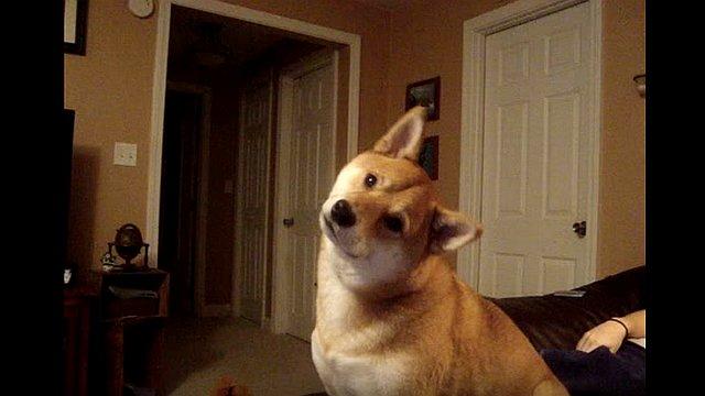 飼い主さんの質問に首をかしげる柴犬