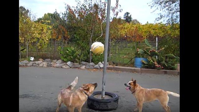 テザーボールで遊ぶ二匹の犬が楽しそう