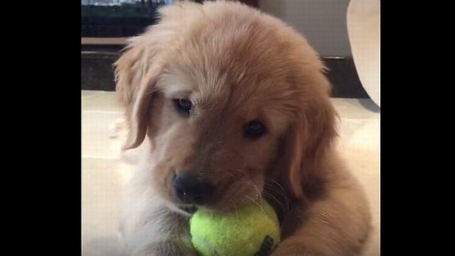 テニスボールが歯に引っかかって困ってしまうゴールデンレトリバーの子犬
