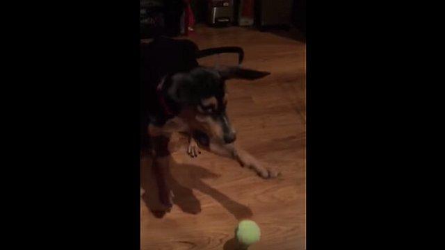 子犬がボールを咥えるのに失敗するシーンをスローモーションで見てみよう