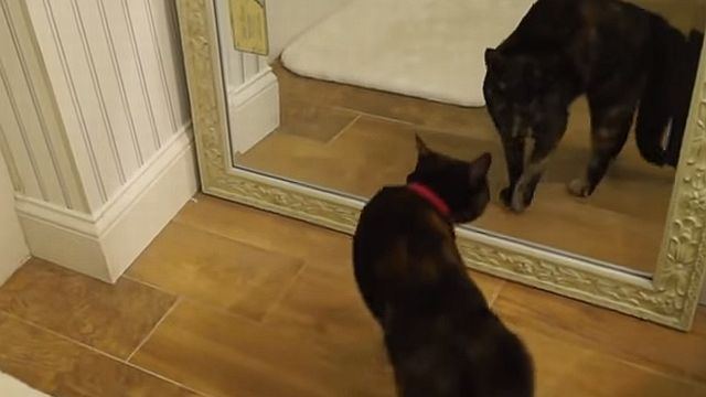 鏡の自分に襲い掛かる猫wwww
