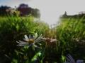野菊の咲く原っぱ