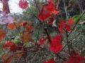 サンカクヅルの紅葉