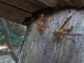 ムモンアシナガバチ