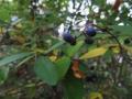 イボタノキの果実