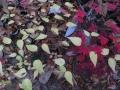 ナガバノコウヤボウキの白葉
