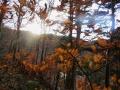 イヌブナの黄葉