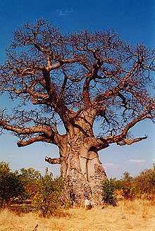 220px-Baobob_tree.jpg