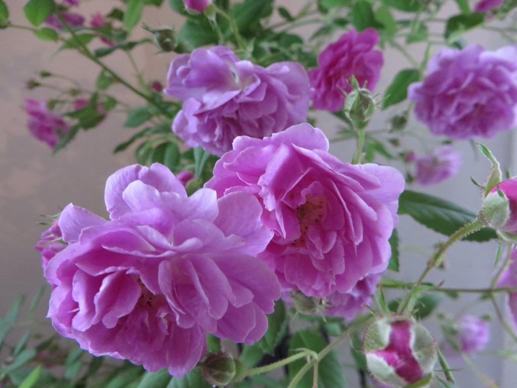 ハーブスタンド 花のつぶやき美しく咲いてくれたバラたちに感謝してそっとおやすみなさい・・・