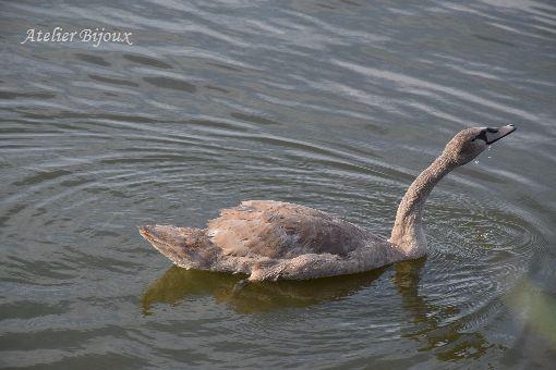 024-コブ白鳥幼鳥