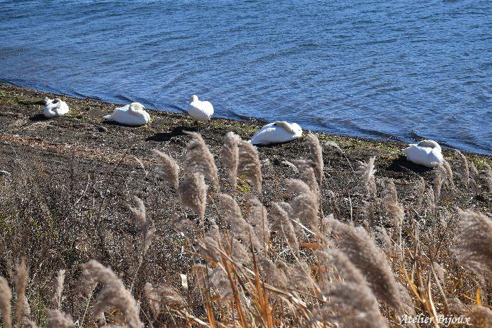 018-山中湖-白鳥