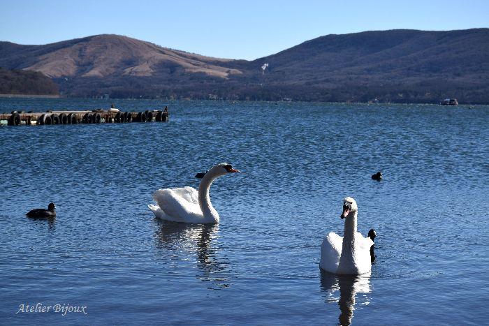 011-New-山中湖-白鳥