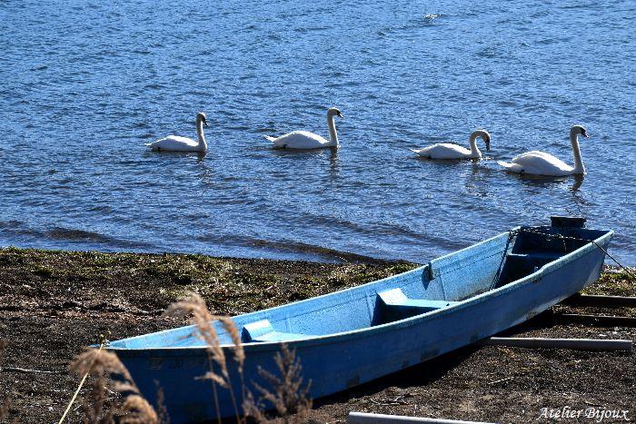 024-New-山中湖-白鳥