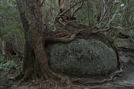 55花崗岩に根を張る