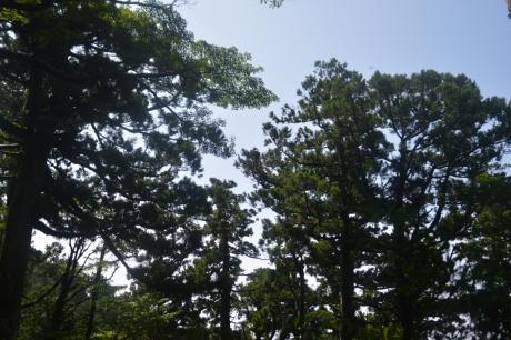 6杉がたくさん