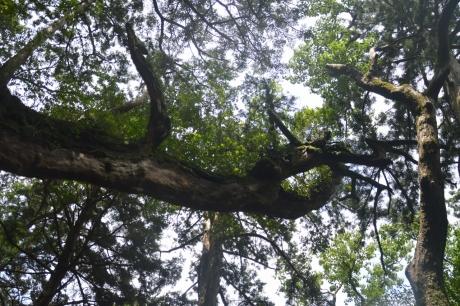 42大竜杉枝