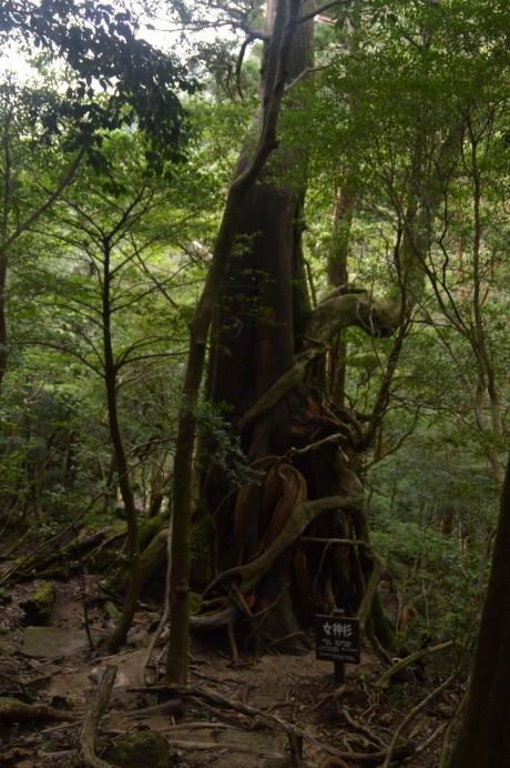 18女神杉