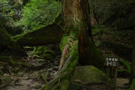 25三本足の杉
