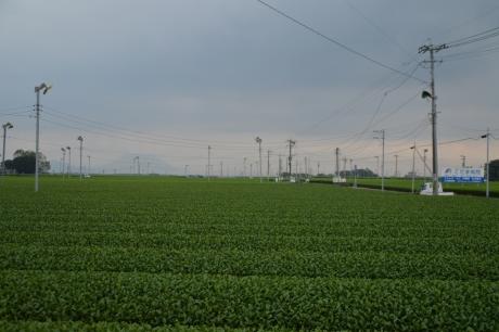 22開聞岳と茶畑