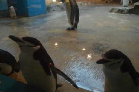 3ヒゲペンギン