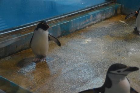 4イワトビペンギン