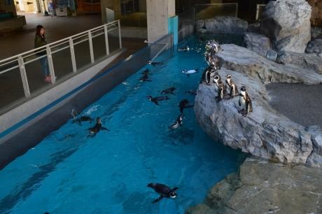 6フンボルトペンギン