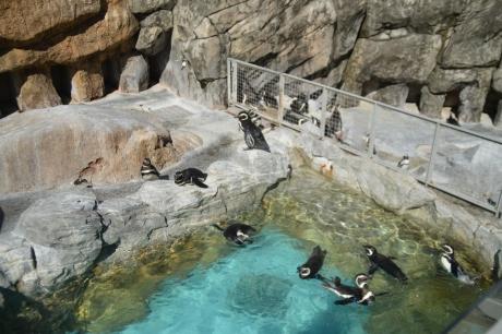7マゼランペンギン