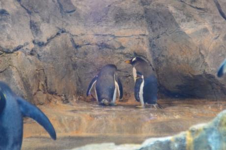 8ジェンツーペンギン