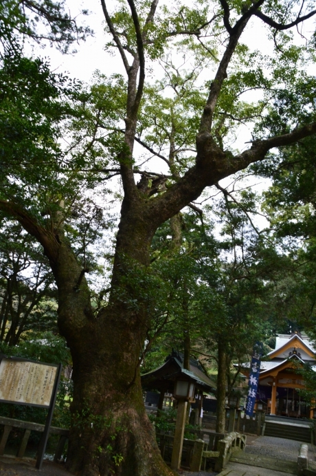 19住吉神社のクス