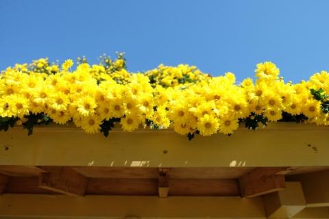 38中尊寺:菊祭り