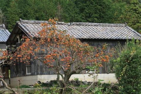 11筑波の柿