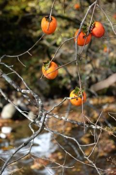 17西上州やまびこ街道渋柿