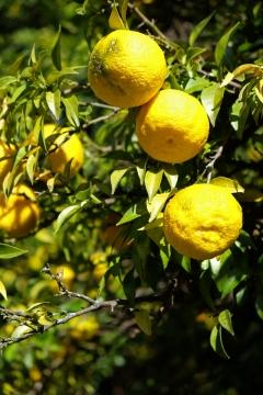 19西上州やまびこ街道柚子