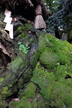 03神木の苔