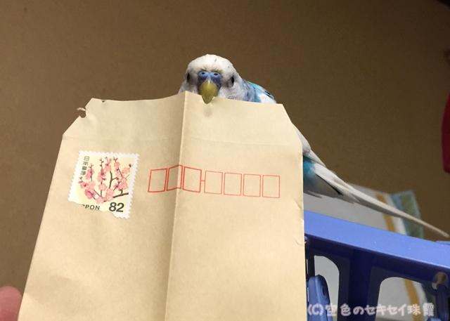 封筒を齧る珠霞   空色のセキセイ珠霞