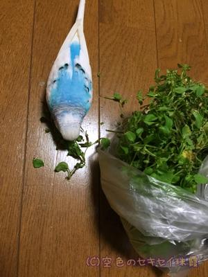 ハコベ大好き   空色のセキセイ珠霞