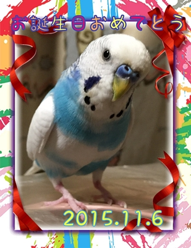 2015年 誕生日カード  空色のセキセイ珠霞