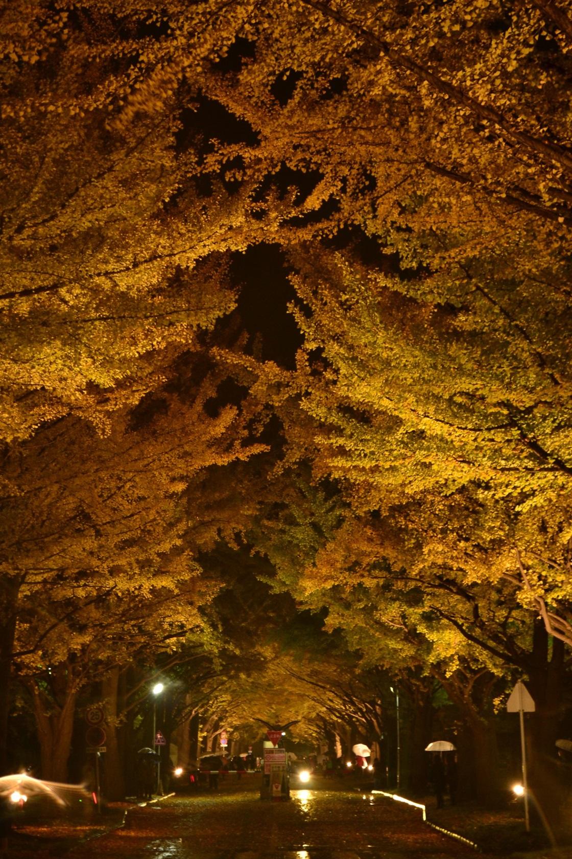 2015北大銀杏並木ライトUP (111)_R