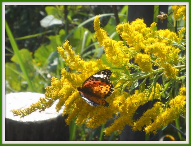 セイタカアワダチソウと蝶